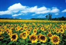 Million Sunflower Garden of Guangzhou