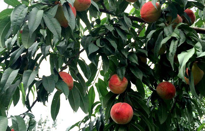 Pinggu Peach Farm