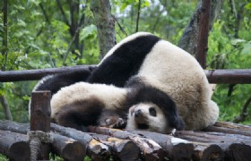4 Days Chengdu Highlights and Panda Volunteer Muslim Tour
