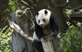 One Week Panda Volunteer Tour in Bifengxia Panda Base