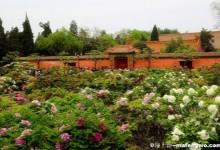 Enjoy Peonies in Beijing Jingshan Park