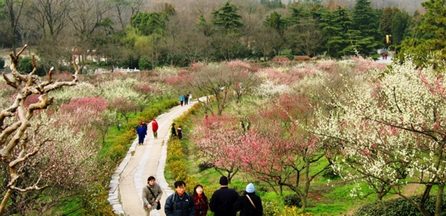 Nanjing Plum Blossoms in Full Bloom