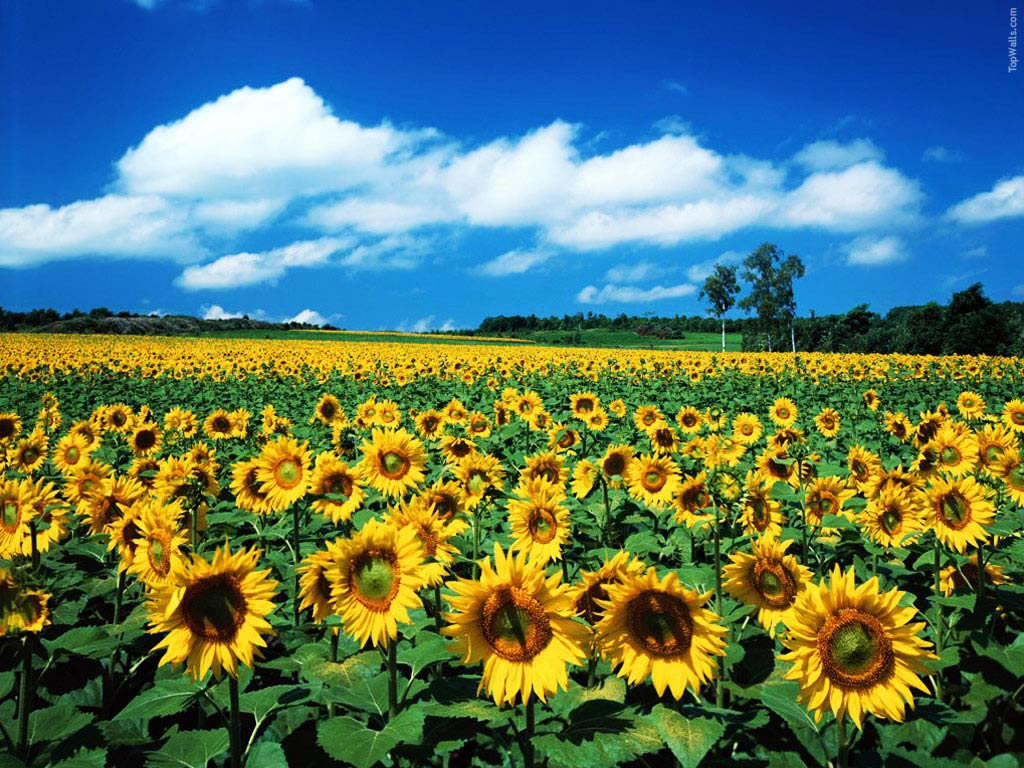 million-sunflower-garden