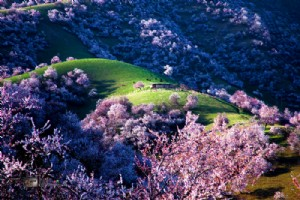 Travel to Delightful Apricot Valley in Yili This April