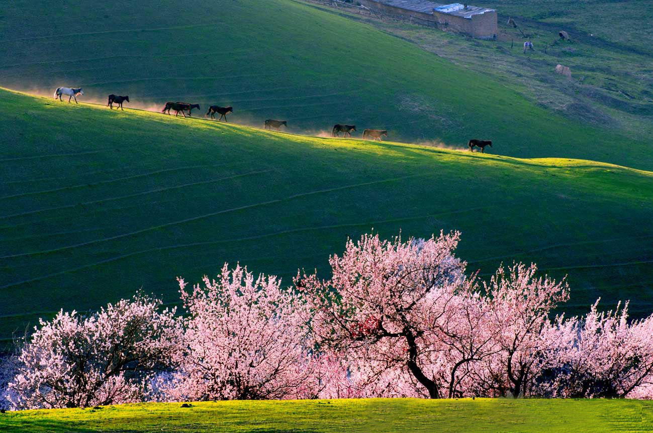 Image result for Yili Apricot Valley, China