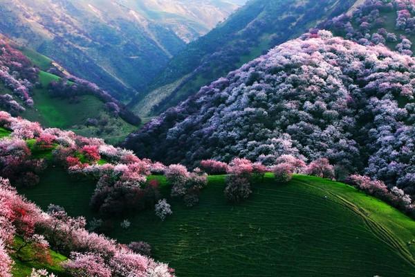yili-apricot-valley-xinghuagou