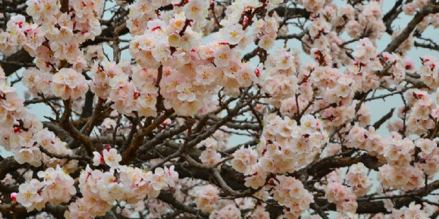 Beijing Tulip And Apricot Blossom 5 Days Muslim Tour