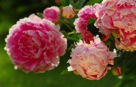 5 Day Beijing and Luoyang Peony Blossom Tour