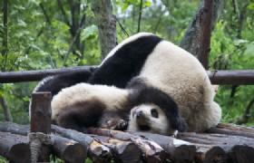 4 Days Chengdu Highlights and Panda Volunteer Muslim Tour