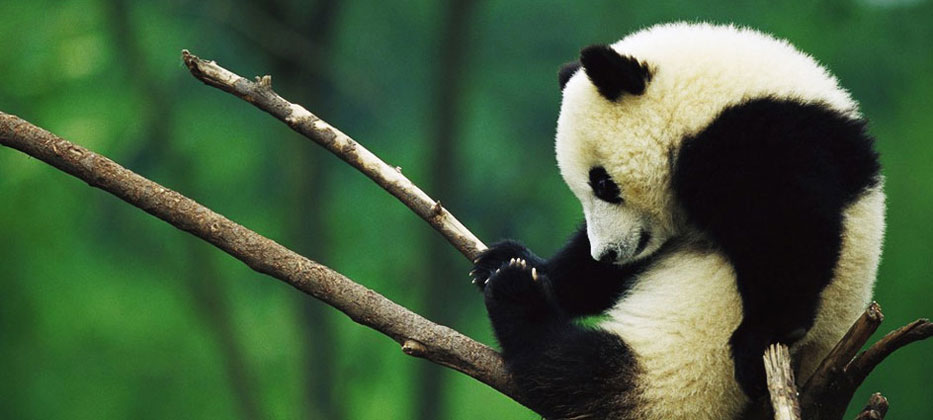 Panda Volunteer and Chengdu Highlights 4 Days Muslim Tour