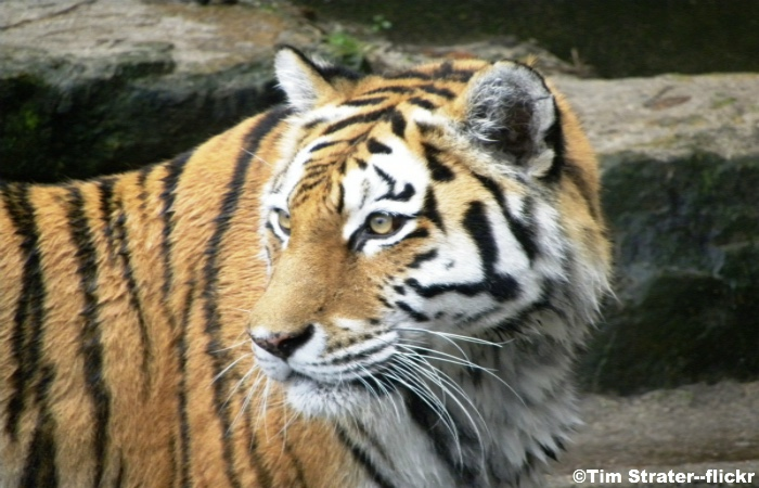 Manchurian-Tiger-China-001.jpg