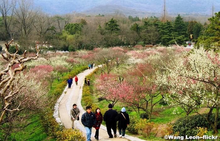 Nanjing-Plum-Blossom.jpg