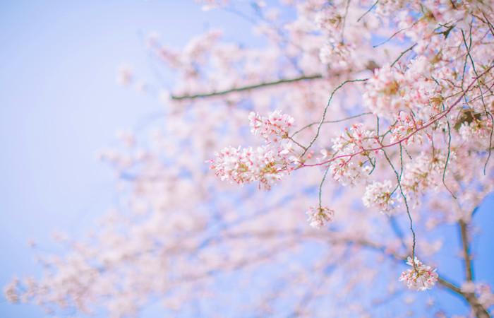 Shanghai-Cherry-Blossoms.jpg