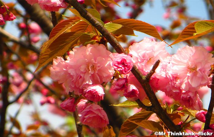 Wuxi International Cherry Blossom Festival