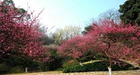 Hangzhou Botanical Garden Plum Blossoms