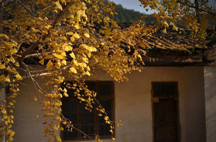 Nanxiong Gingko Forest