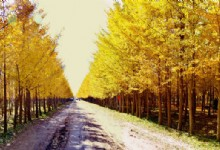 Nanxiong Gingko Forest