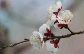 Apricot Blossom 02