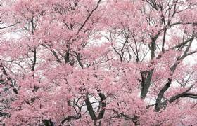 Apricot Blossom 1
