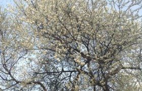 Cherry Blossom 3