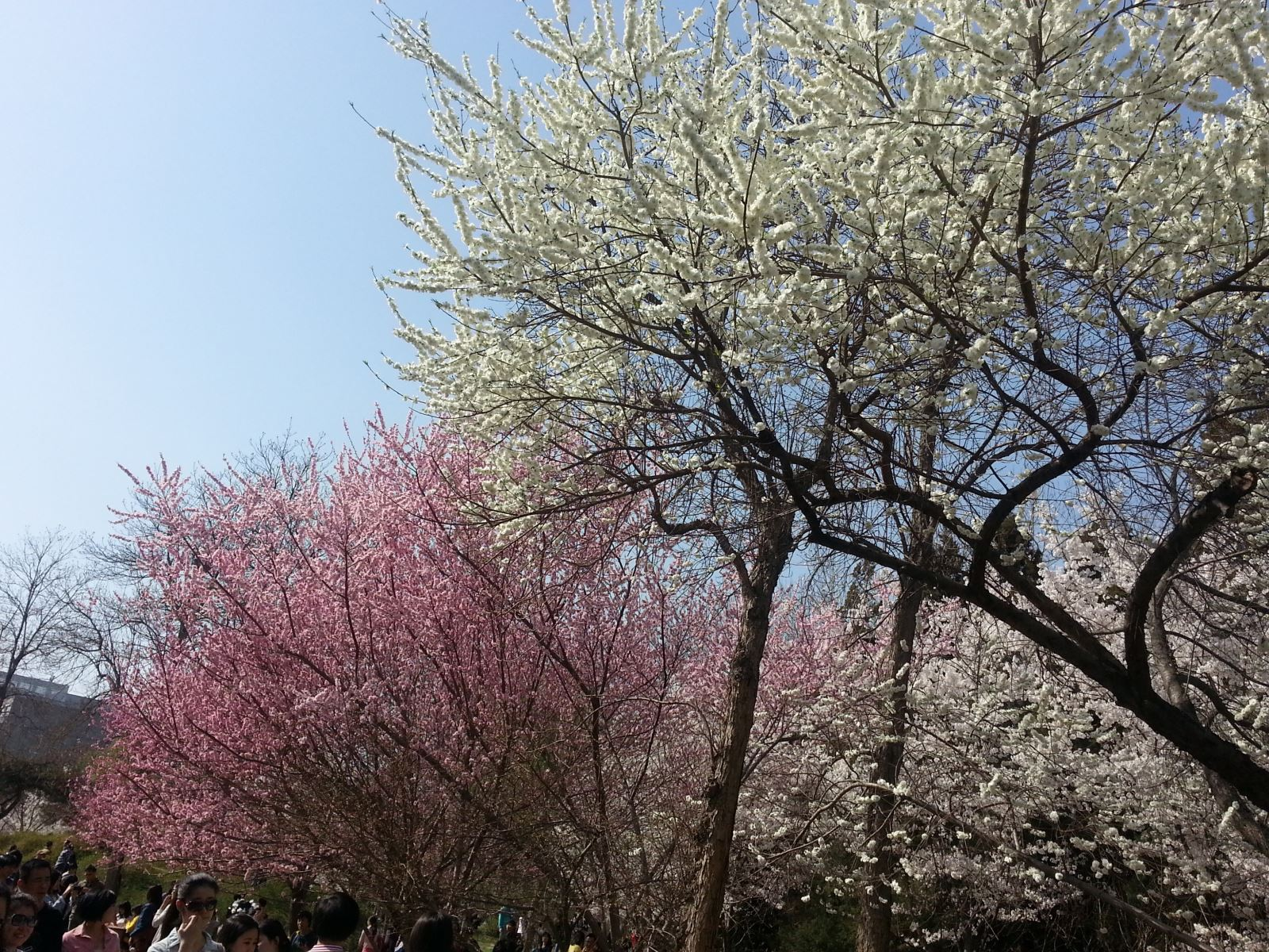 Beijing Peach Blossom and Cherry Blossom 5 Days Tour