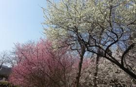 Beijing Peach Blossom and Cherry Blossom 5 Days Tour