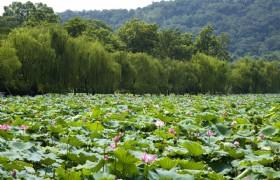 Lotus 05