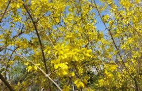winter jasmine 1