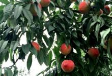 Pinggu Peach Farm_02