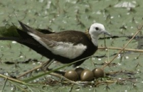 Breeding pheasant tailed jacana in jiangxi village
