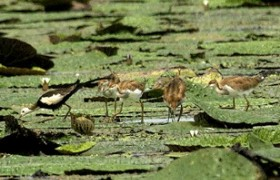 The pheasant tailed jacana in jiangxi village 2