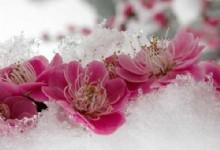 Chaoshan Plum Blossom Festival