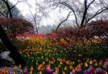 Hangzhou Taiziwan Park Cherry Blossom