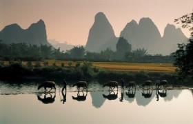 water bufloes on Yulong river