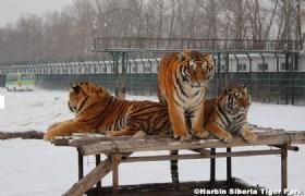 Harbin Sibera Tiger Park