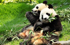 1 Day Dujiangyan Panda Keeper Volunteer Tour