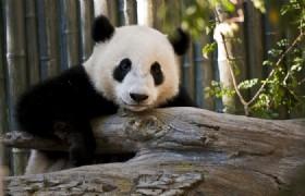 One Day Dujiangyan Panda Base and Mount Qingcheng Tour