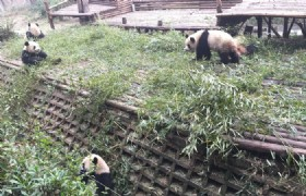Chengdu Resech Base of Giant Panda Breeding