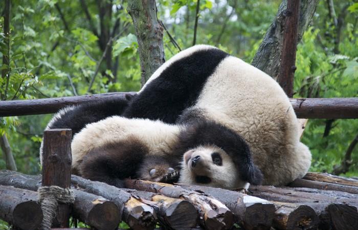 4 Days Chengdu Highlights and Dujiangyan Panda Volunteer Muslim Tour