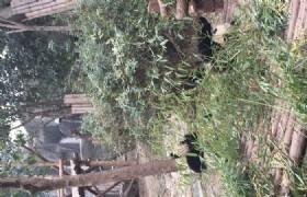 bifengxia panda eat bamboo