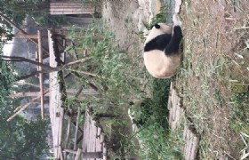 bifengxia panda collect behavior data.