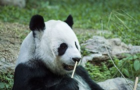 baby panda in panda base