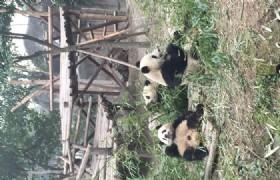 work in bifengxia panda reserve