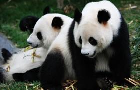 Panda 06