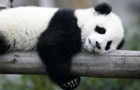 Panda 07