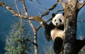 Panda 09