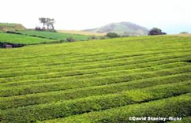 Sichuan tea plantation02