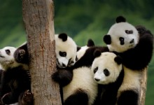 Pandas on the tree