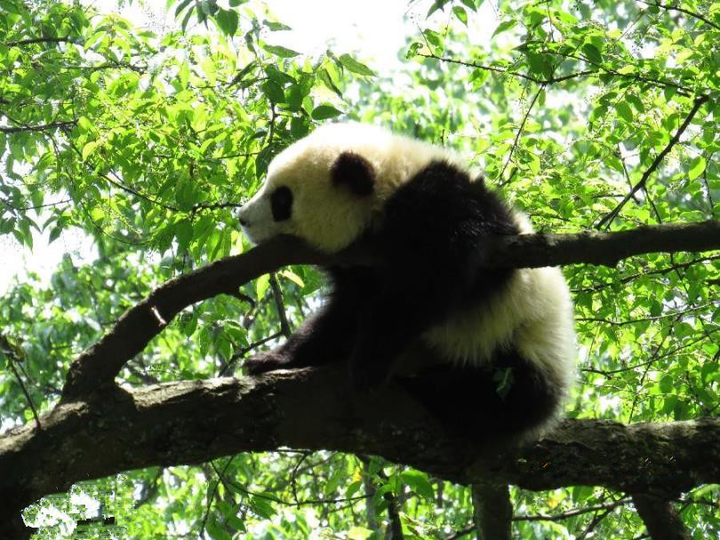 Bifengxia 4 Days Panda Discovery and Chengdu Highlights Muslim Tour