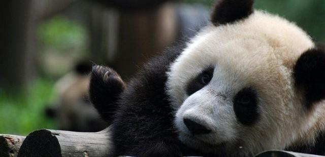 Ya'an Bifengxia Panda Protection Base